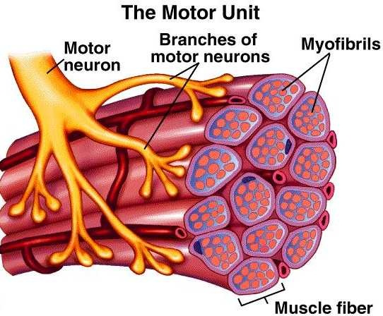 Functional Unit of Muscle